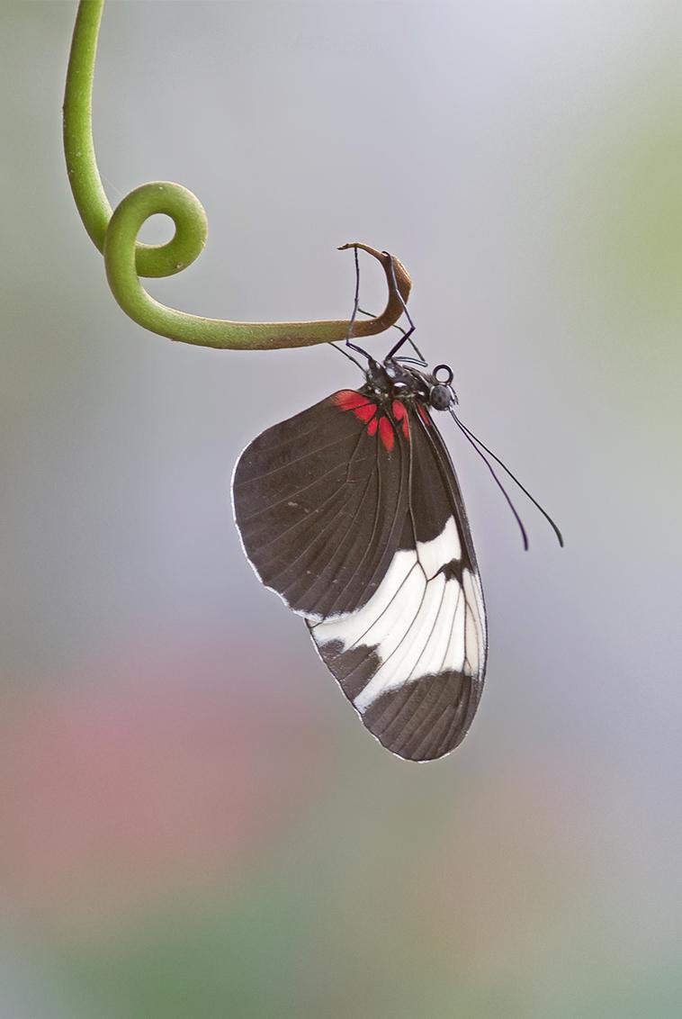 Vlindertje - Foto gemaakt in de vlindertuin in Luttelgeest! Gisteren maar weer eens geweest met 2 gezellige dames..we hebben ons er weer prima vermaakt!! - foto door BNN op 29-01-2014 - deze foto bevat: vlinder, dieren, vlindertuin, luttelgeest, bnn, orchideeenhoeve