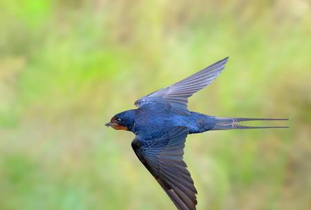ZWALUW IN SCHEERVLUCHT 4. - Net voor de volgende regenbui, hangen de insecten laag boven de grond. Dit vogeltje scheert er in een flits en zigzaggend achteraan. - foto door swimmaster op 27-06-2013 - deze foto bevat: in, jacht, zwaluw, vlucht, flight, hunting, swallow, jagend, Scheervlucht
