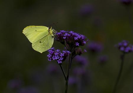 citroenvlinder 2016 - vandaag 4 vlinders gezien, nachtvlinder, kleine vos, dagpauwoog en de citroen vlinder.   Er komt weer een heerlijke tijd aan. - foto door majvangooreg op 07-04-2018 - deze foto bevat: vlinder