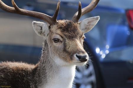 Damhert - Damhert op de parkeerplaats bij de amsterdamse waterleidingduinen - foto door RinkieFotografie op 01-03-2021 - deze foto bevat: natuur, dieren, hert, awd, wildlife
