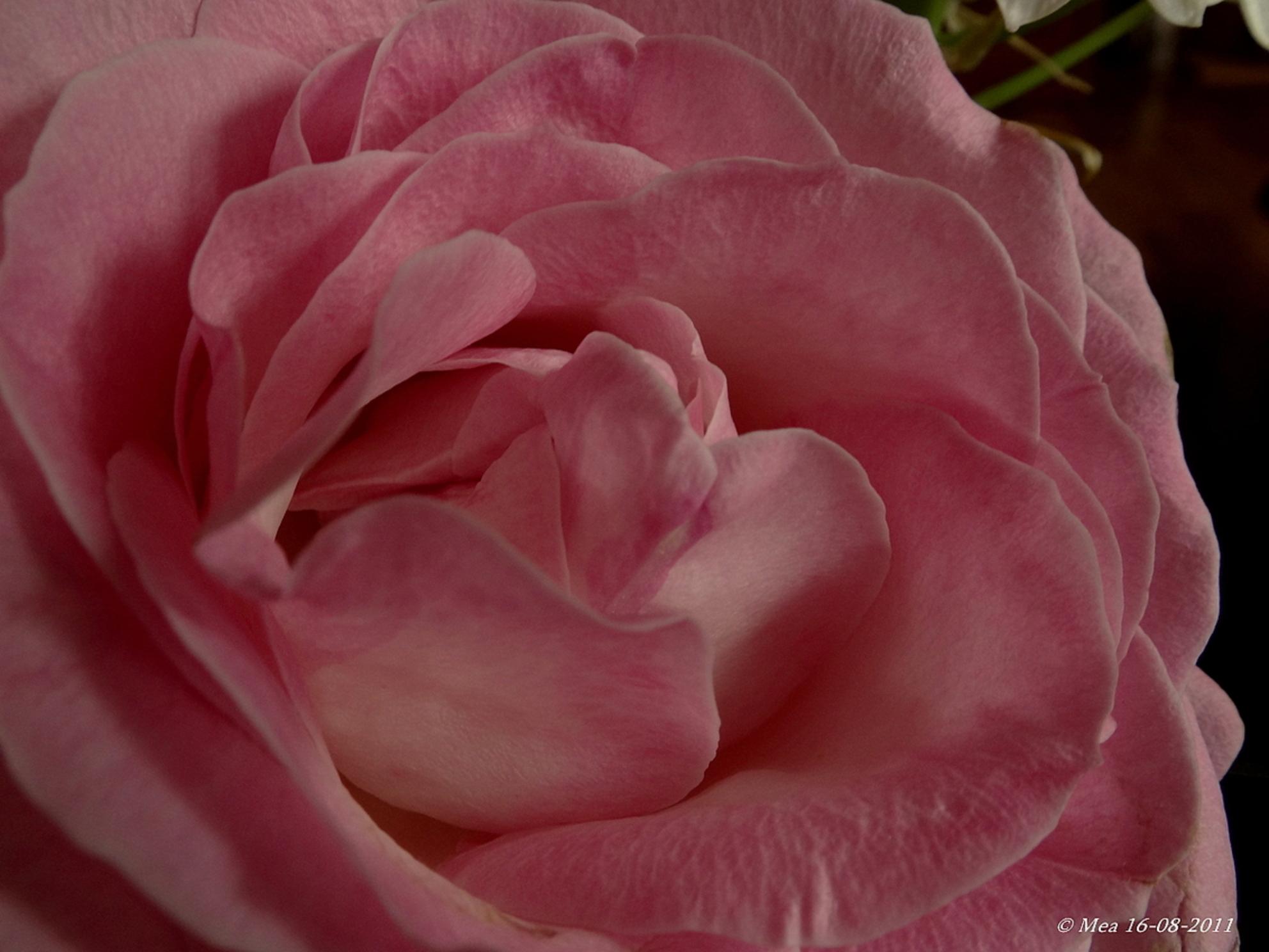 roze roos - uit een bouquet... - foto door angenent op 22-08-2011 - deze foto bevat: roze, bloem, roos - Deze foto mag gebruikt worden in een Zoom.nl publicatie