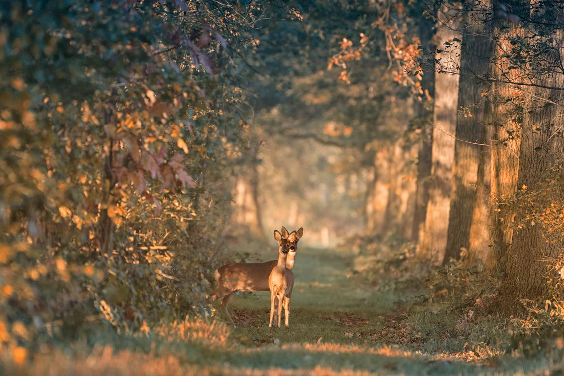 Nieuwsgierige Reeën - Deze twee nieuwsgierig reeën keken mij 's morgens aan. - foto door fotomay op 14-06-2018 - deze foto bevat: dieren, ree, bos, reeen, zonlicht, wildlife