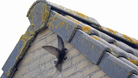 Gierzwaluw voert jonkies - Ongelofelijk dat de gierzwaluw de jonkies onder de dakpannen voert een ruimte van een paar centimeter heeft die. - foto door Jan Zuijderduijn op 04-08-2019 - deze foto bevat: vogel, katwijk, gierzwaluw, zuijderduijn, apus apus
