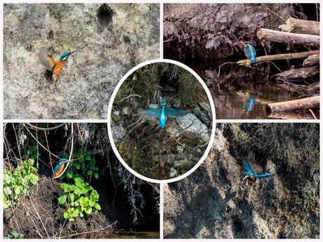 Collage IJsvogeltjes