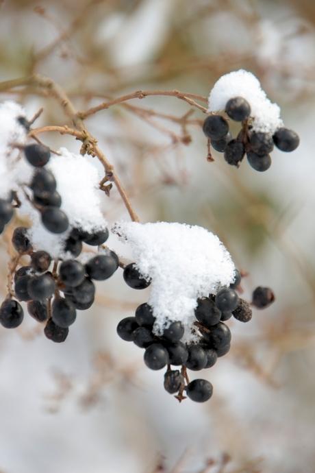 Besjes van de liguster, met een sneeuwhoedje