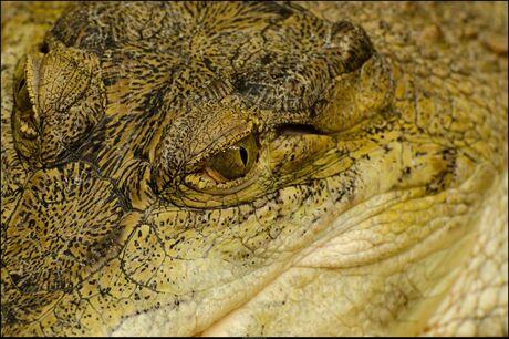 i of the krokodil
