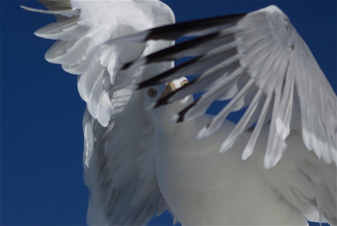 opvliegende zeemeeuw - Tijdens de boottocht van Eemshaven naar Borkum vloog deze ene meeuw de hele overtocht mee, af en toe rustend op een hoge plek op het schip. Tijdens h - foto door Tillie op 11-06-2011 - deze foto bevat: zeemeeuw