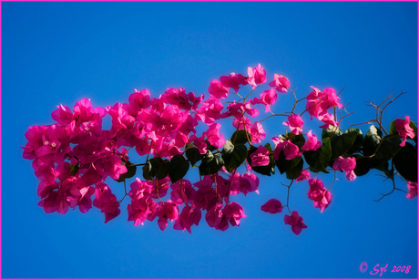 Bougainville voor pink ribbon