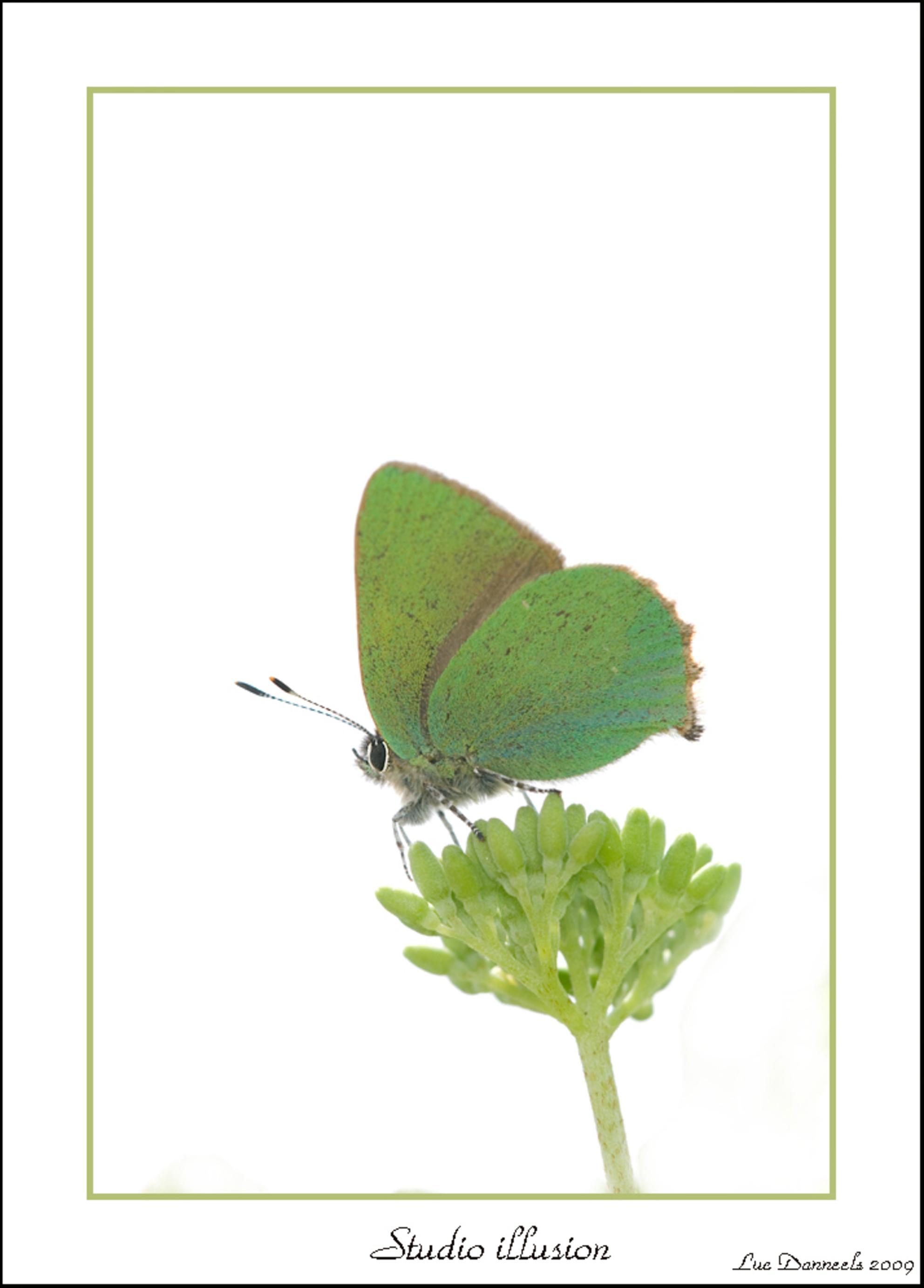 Het Groentje 01 - Ja maandag zit mijn vlinderjacht vakantie hier in Frankrijk er op. (september ga ik terug) Als afsluiter deze twee opnames van Het Groentje, persoon - foto door boris165 op 19-04-2009 - deze foto bevat: vlinder, vlinders, groentje