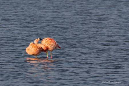 Mag ik dan bij jou - Ook ik ben naar de Flamingo's toegeweest die hier vlakbij huis zijn neergestreken. Gelukkig is de media gekte weer wat afgenomen want die beesten gun - foto door Puck101259 op 01-02-2020 - deze foto bevat: water, flamingo, oranje, vogel, watervogel, nederland, brigitte