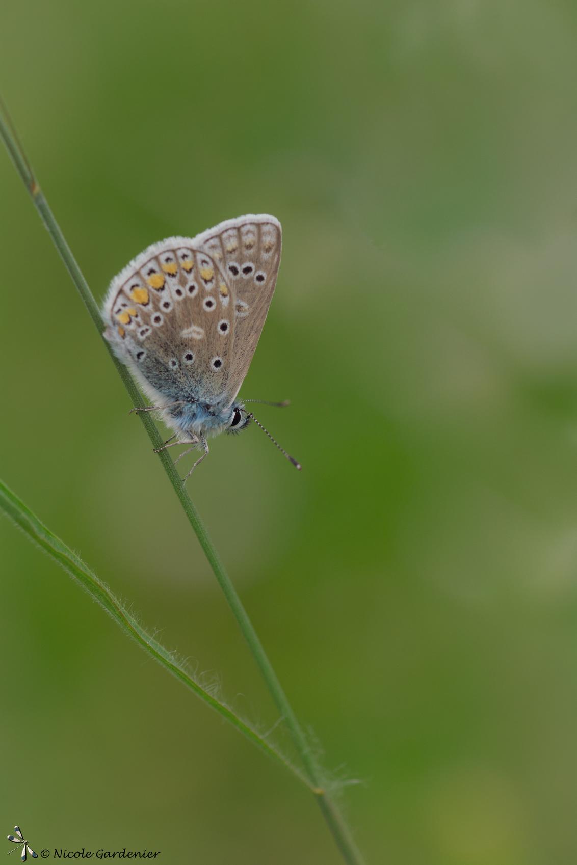 Icarus blauwtje - - - foto door nicolegardenier17 op 22-05-2019 - deze foto bevat: zon, vlinder, zomer
