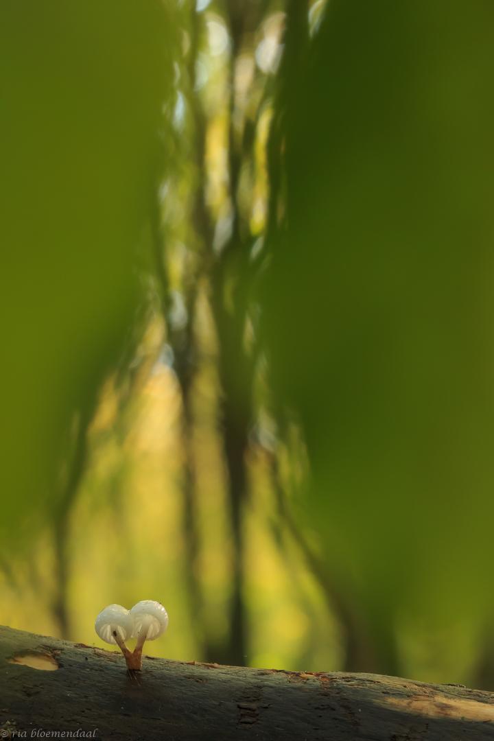 porseleinzwammetjes - Een paar porseleinzwammetjes op een omgevallen stuk beukenhout gefotografeerd. Ik wilde ze fotograferen met een diafragma van 2.8, maar mijn camera s - foto door riabloemendaal op 12-11-2017 - deze foto bevat: macro, paddestoel, porseleinzwam