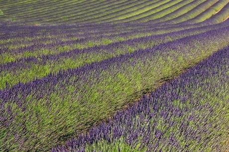 Lavendel(2)