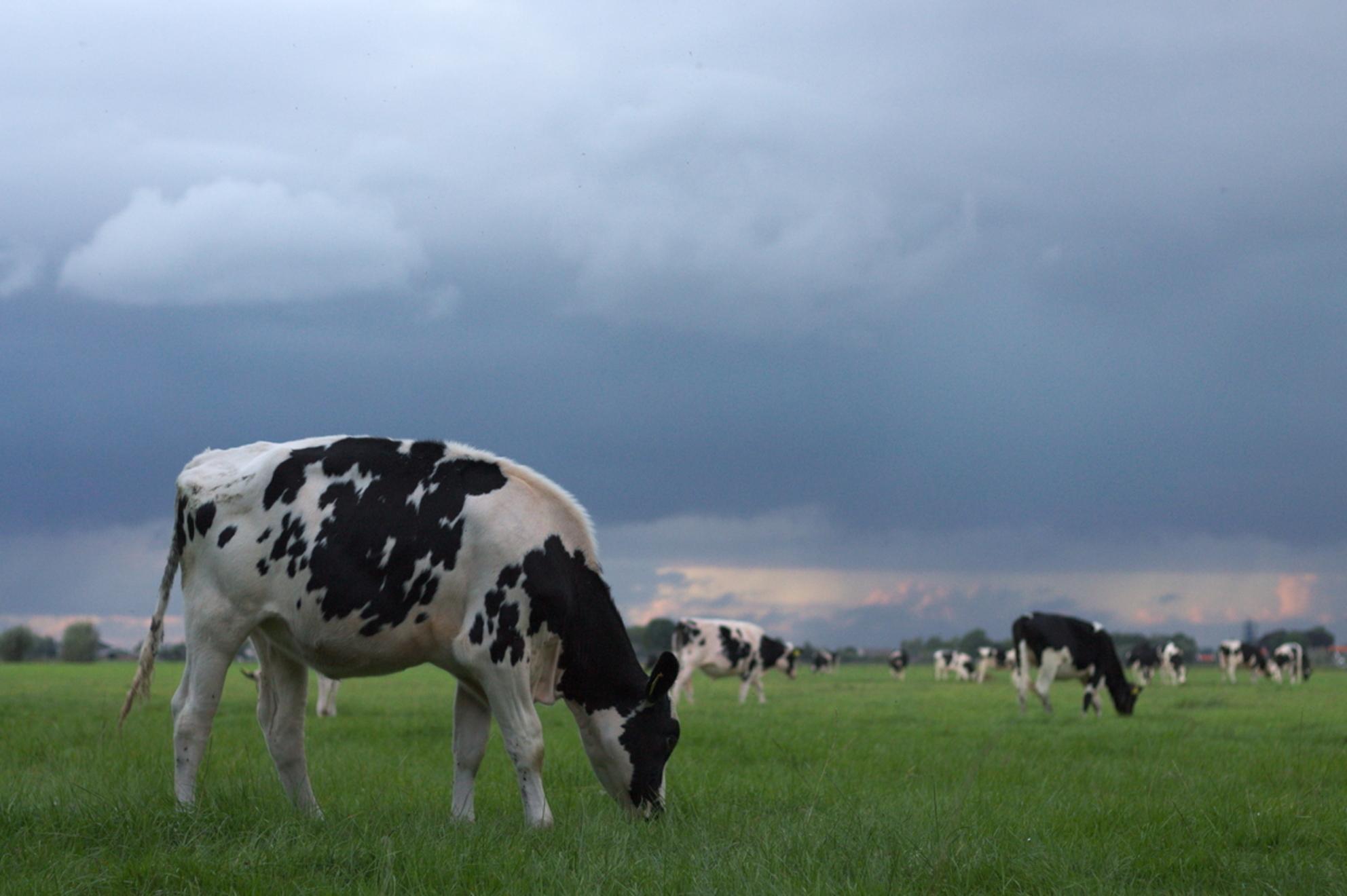 Hollandse Glorie - Toen ik deze dreigende lucht zag moest ik er natuurlijk een foto maken, en de koeien waren een leuke toevoeging :) - foto door GabriellaStam op 18-09-2016 - deze foto bevat: groen, lucht, wolken, boom, natuur, licht, koeien, koe, dieren, landschap, nederland, polder, dreigend - Deze foto mag gebruikt worden in een Zoom.nl publicatie