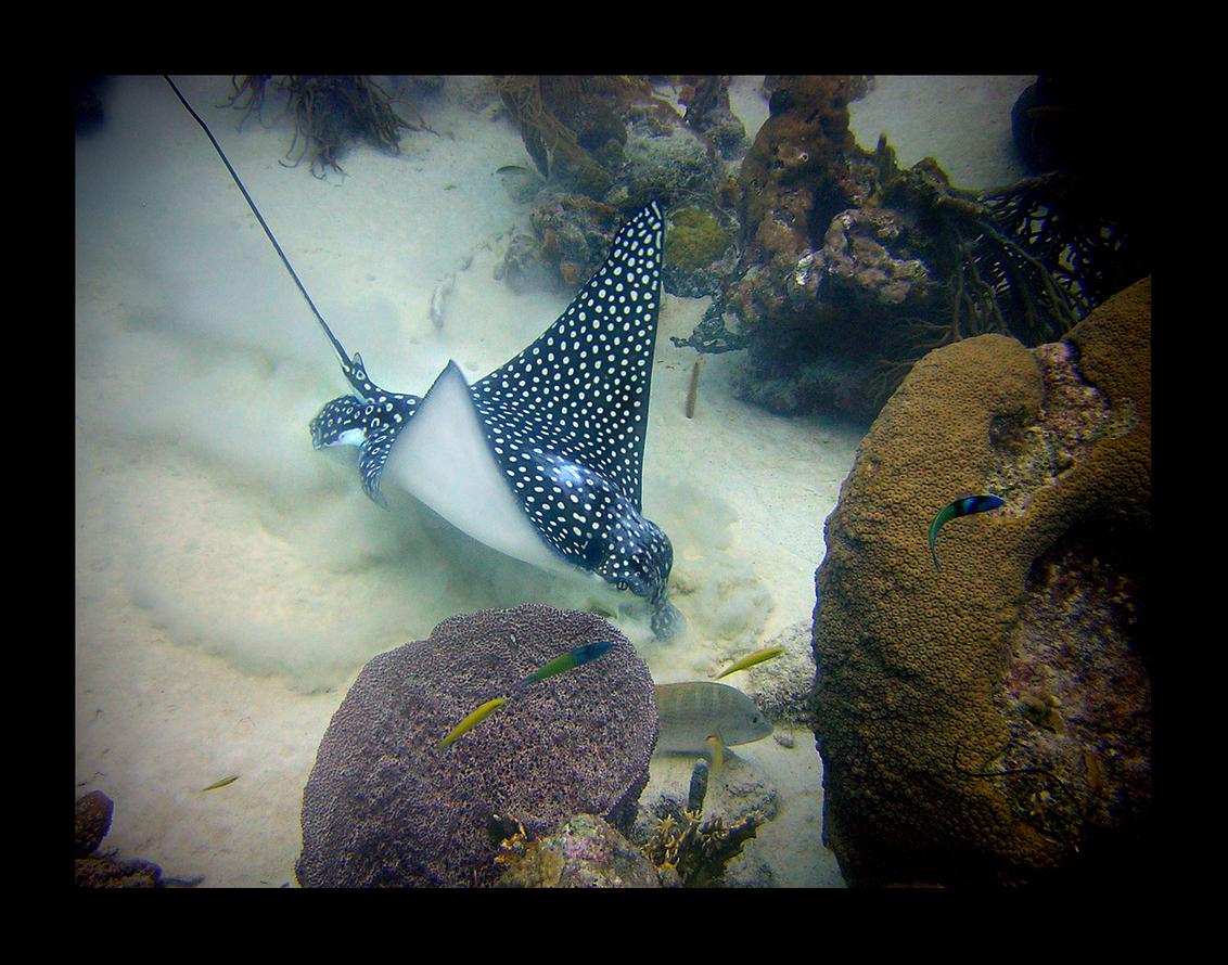 Wroetende Eagle Ray - Een andere Eagle Ray onder water tegengekomen op Bonaire.  Alvast iedereen een fijne jaarwisseling. - foto door shahaira op 30-12-2008 - deze foto bevat: vissen, eagle, bonaire, duiken, onderwaterfotografie, ray, shahaira