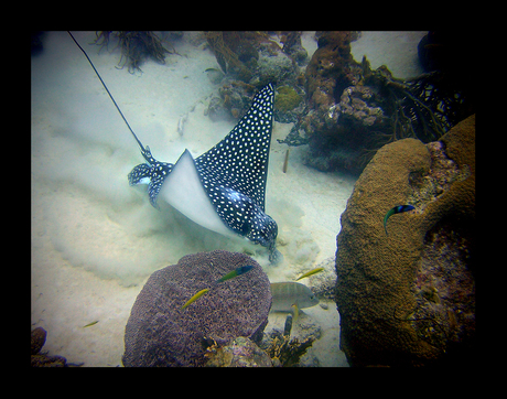 Wroetende Eagle Ray