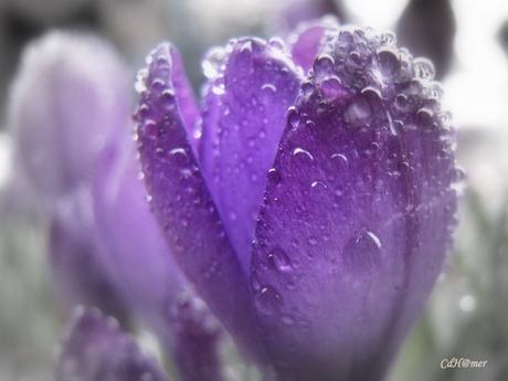 Paarse Krokus in de regen