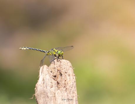 Gaffellibel
