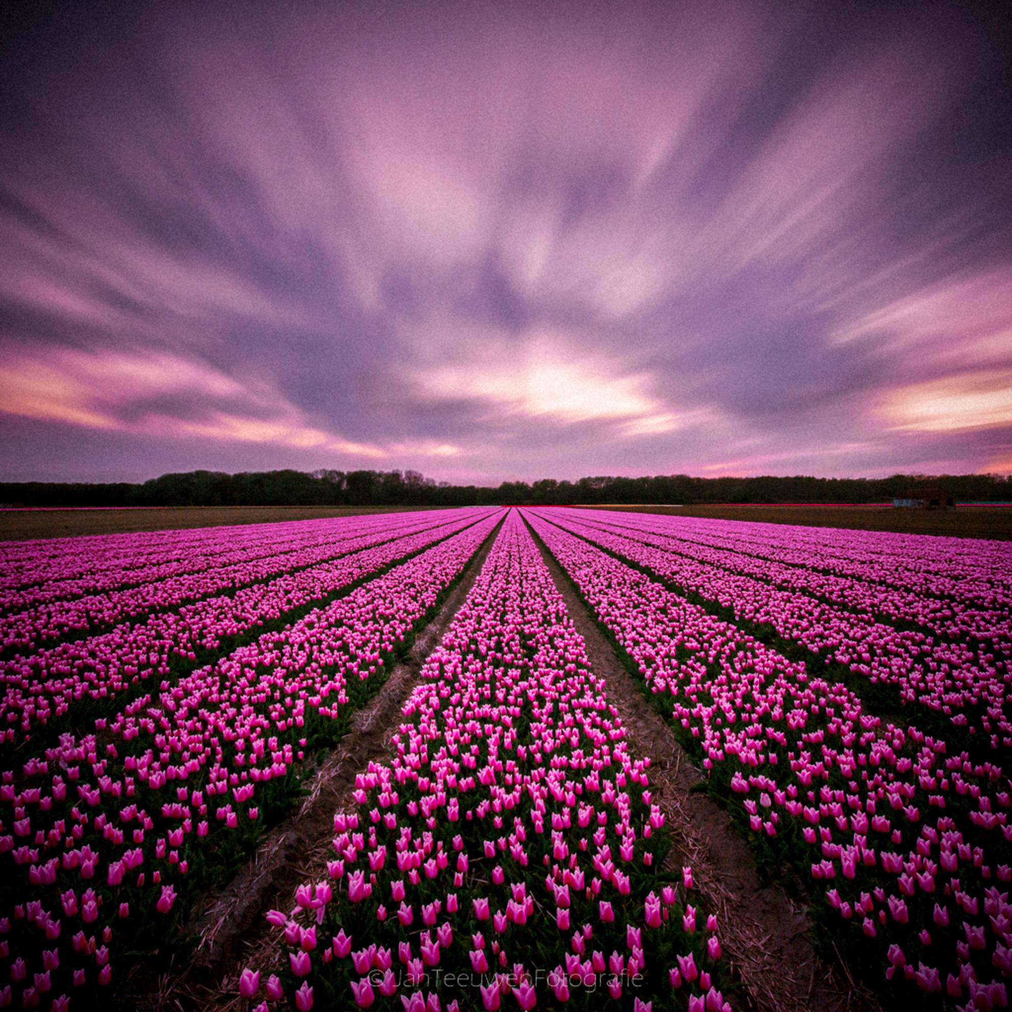 Pink explosion - Het bloeiseizoen van de bollenvelden is helaas voorbij. Vanmiddag (17 mei) ben ik nog een stukje gaan fietsen maar de kleurtjes zijn verdwenen. Vol - foto door Jant op 17-05-2015 - deze foto bevat: roze, lucht, wolken, tulpen, natuur, avond, zonsondergang, landschap, duinen, lange sluitertijd, JanT, de bollenstreek