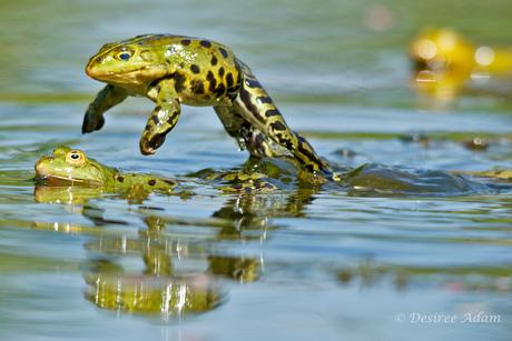 Jumping Frog 2