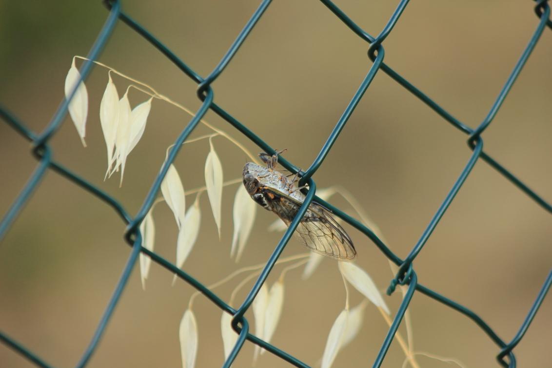 vakantie 101.JPG - cigale, frankrijk - foto door misskell op 26-08-2013 - deze foto bevat: natuur, frankrijk, insect, krekel, cigale