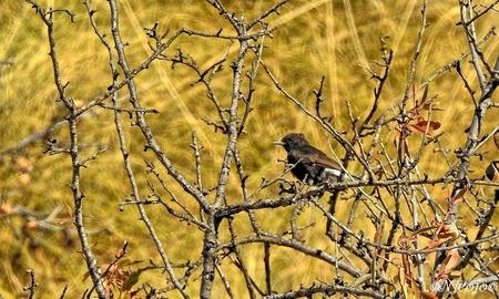 Zwarte tapuit. - Tijdens een tocht door de bergen zagen we deze vogel en na enig zoeken denk ik dat het de zwarte Tapuit(vrouw) is. De afstand was groot, inzomen 2000 - foto door ocelot_zoom op 19-10-2020 - deze foto bevat: natuur, vogel, spanje, nicojo, zwarte tapuit