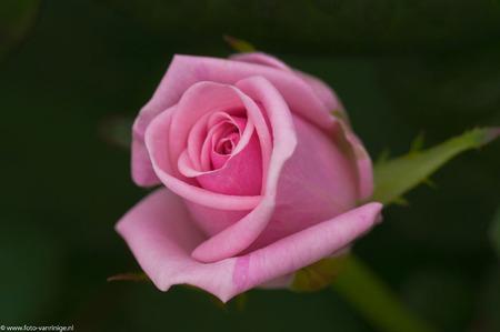 Pretty in pink... - een opendag in de kassen.... - foto door zorbus op 03-04-2011 - deze foto bevat: roos