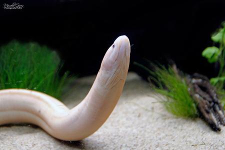 Albino moeras aal - De Monopterus albinus is een zeldzame aal. - foto door Fotografiemg op 21-08-2020 - deze foto bevat: dieren, huisdier, aquarium, fotografie, albino, aal, zeldzaam, zoetwater, aquarium fotografie, rijstaal, monopterus albinus