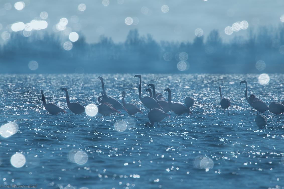 flamingo's - Flamingo's in het Grevelingenmeer gefotografeerd met meervoudige belichting. Bedankt voor jullie reacties op de voorgaande foto. - foto door riabloemendaal op 28-02-2018