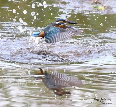 IJsvogel net uit water