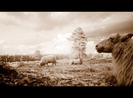 schapenwacht