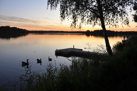 Swimming birds in the evening sun