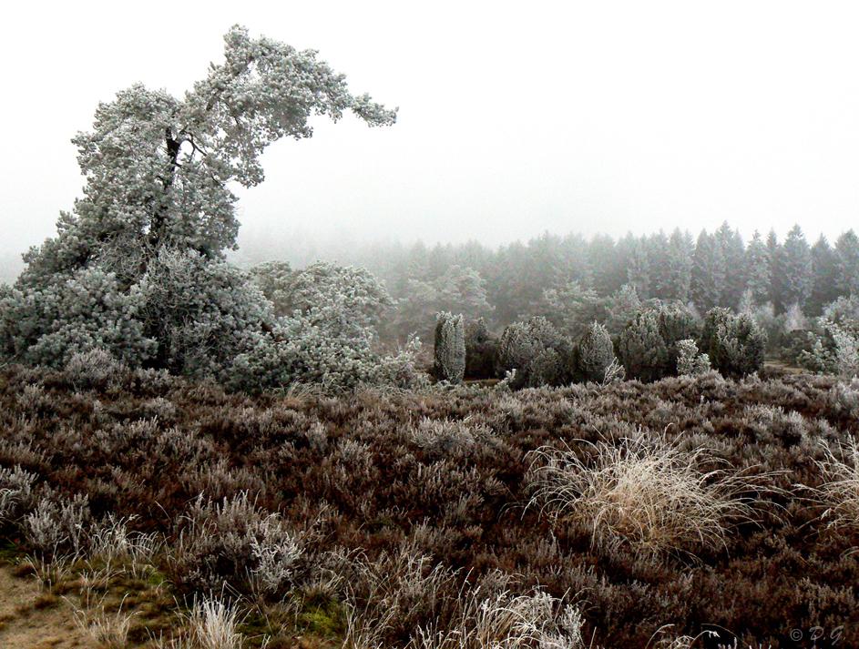 Crystal White - 21 december Echtener Zand  We hebben inmiddels 2 prachtige dagen achter de rug. Een witte wereld waarin elk klein takje bedekt is met een dun laagj - foto door daniel44 op 23-12-2007 - deze foto bevat: wit, natuur, rijp, ijs, mist, bomen, koud, hei, kristal, daniel44, echten