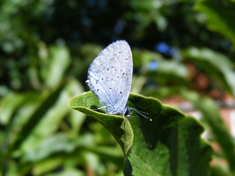 Boom- of Zilverblauwtje