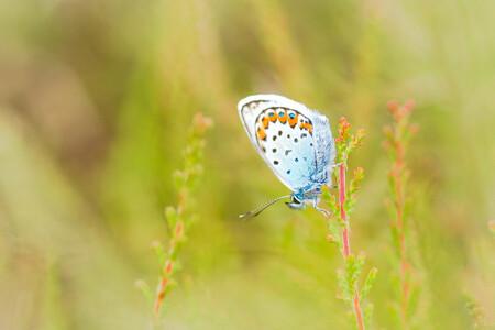 The blue king - Mijn kleine blauwe vriend :) - foto door rickwijnberg op 01-07-2016 - deze foto bevat: groen, foto, zoom, natuur, vlinder, blauwtje, oranje, heide, zomer, voorjaar, insect, butterfly, veld, heideblauwtje, bauw, boetelerveld