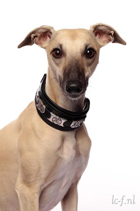 Honnie met haar nieuwe halsband