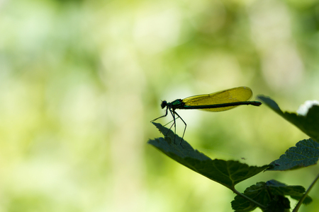 Groene schoonheid - Heel hartelijk bedankt voor al jullie reacties op het blauwtje.   Deze metaalgroene schoonheid vertoeft al een aantal dagen bij ons op en rond de b - foto door brinkbeest op 22-07-2013 - deze foto bevat: groen, macro, juffer, tuin, insecten, zomer, silhouet