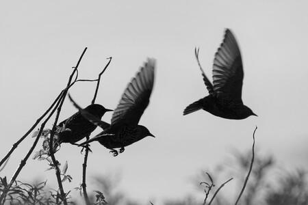 Spreeuwen - Spreeuwen - foto door Ellengton op 27-10-2020 - deze foto bevat: vogel, spreeuw, zwart wit