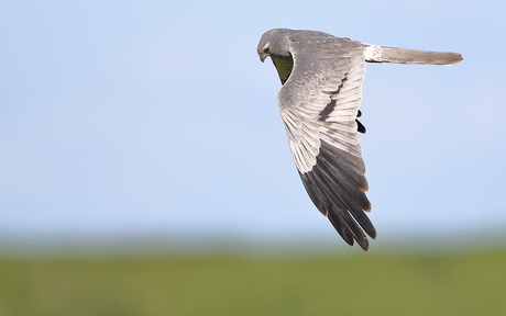grauwe kiekendief fly-by