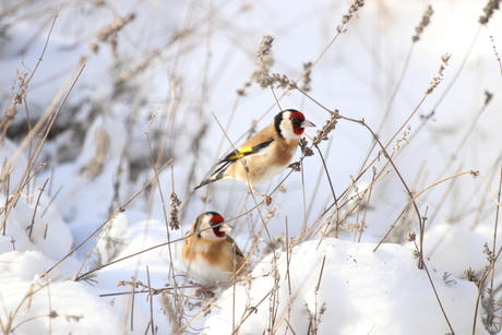 Putters in de sneeuw.