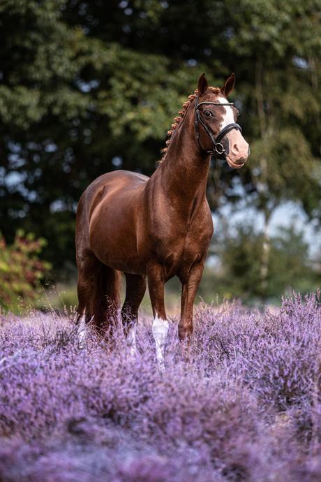 Pony tussen de heide