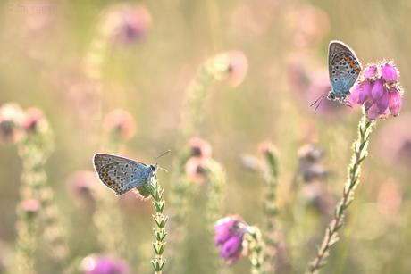 Heideblauwtjes (plebejus argus) in het ochtendlicht