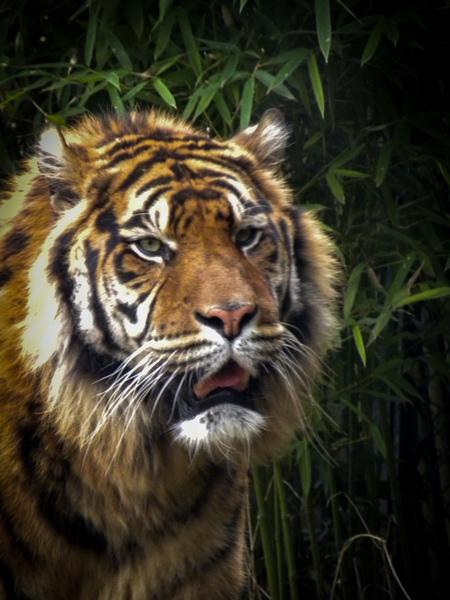 tijger - foto van een tijgen van mijn laster bezoek aan blijdorp  15-03-2018 - foto door bjornschouten_zoom op 15-03-2018 - deze foto bevat: dierentuin, tijger, blijdorp