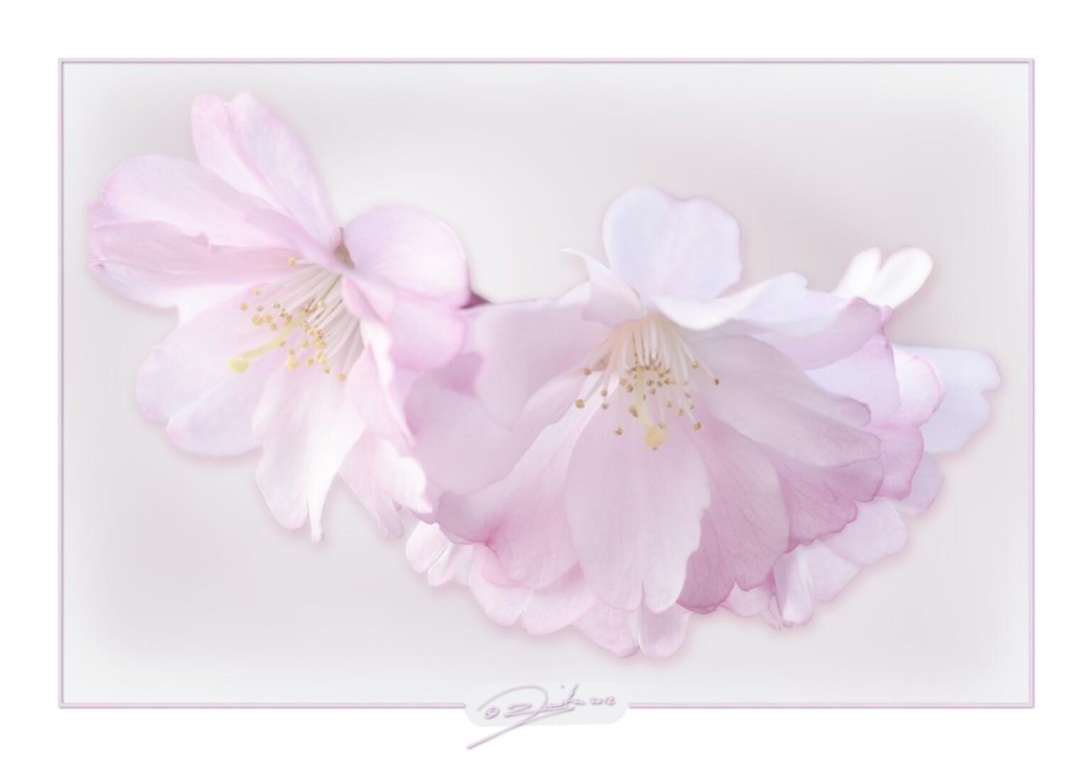 Bloesem - Een prunus begint te bloeien met teerroze bloemetjes. Bewerking gekozen die ik vind passen bij de bloemetjes. - foto door spitsoor op 22-03-2012 - deze foto bevat: roze, voorjaar, bloemetjes, bloei, teer, zacht, prunusbloesem, spitsoor.