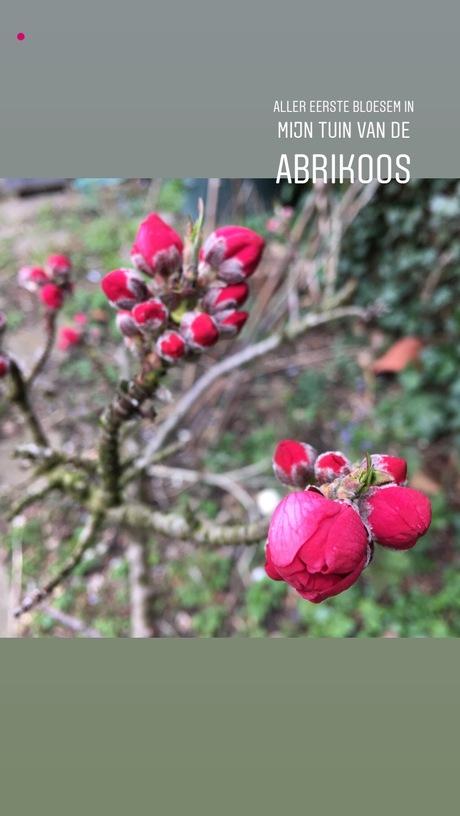 Abrikozen bloesem