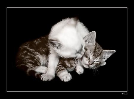 Ik ben er voor je - De 2 kittens van mijn neef die inmiddels al een stukje groter zijn. Het is niet mijn scherpste opname, dat weet ik, iets te weinig licht. Maar ik vo - foto door daniel44 op 13-05-2011 - deze foto bevat: kitten, klein, poes, huisdier, kat, lief, jong, warm, daniel44, likken