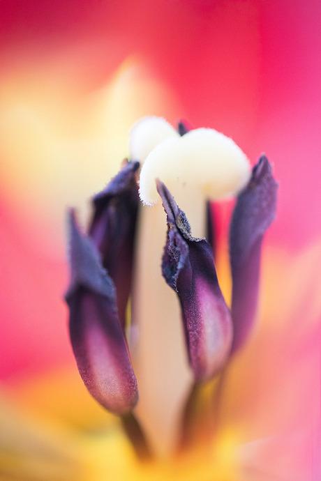 Het hard van de Tulp