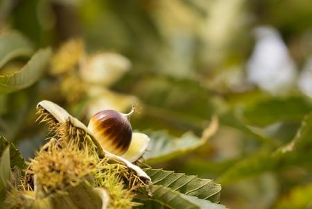 Staande onder een kastanjeboom..... - zag ik deze jonge kastanje op zijn gespreide bedje liggen. Vond het apart en mooi om zo te zien. Ik moest natuurlijk wel mijn camera wat omhoog houde - foto door Jozeeke op 20-10-2013 - deze foto bevat: kastanjeboom, jozeeke