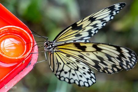 Vlinders aan de Vliet - De Idea leuconoe vlinder, ook wel de Malabar boomnimf vlinder genoemd,  die nectar drinkt in de vlindertuin van Vlinders aan de Vliet. - foto door amsterdamned_zoom op 06-11-2020 - deze foto bevat: macro, vlinder, insect, holland, nederland, vlindertuin, leidschendam, amsterdamned, vlinders aan de vliet, Zuid Holland, idea leuconoe