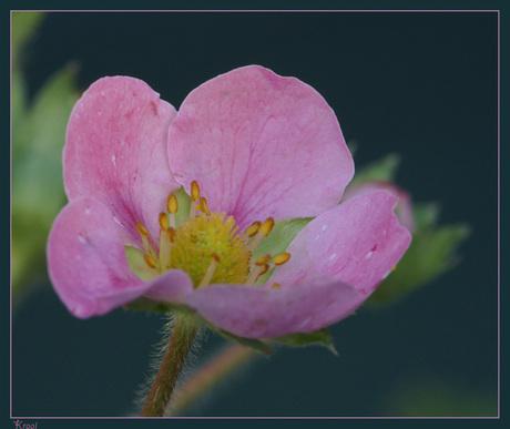 roze aardbeienbloesem